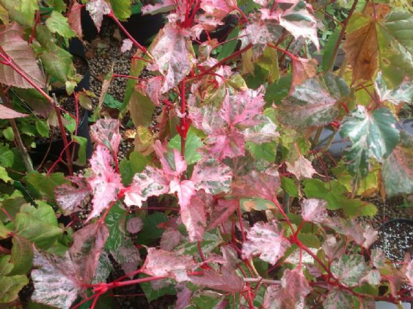 Acer 'Red flamingo'